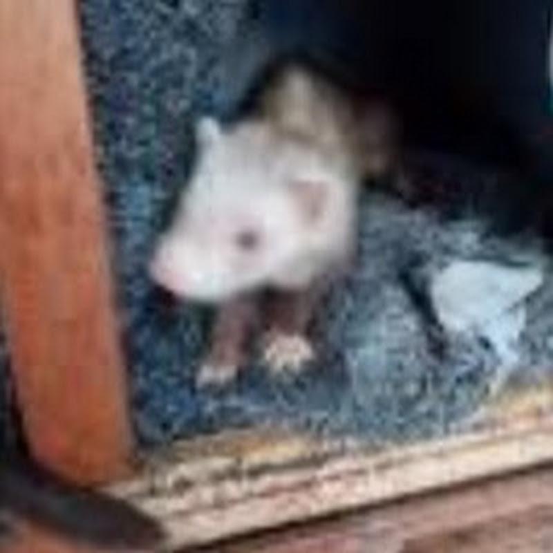 Ferret boy SP (ferret-boy-sp)
