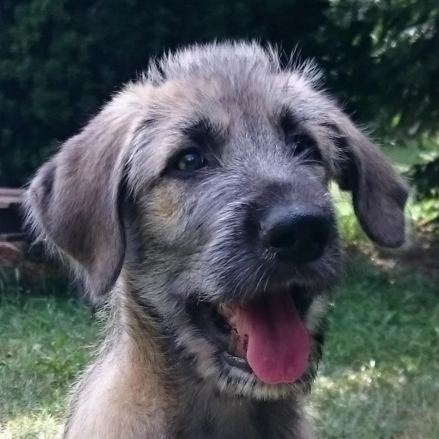 Caesar Irish Wolfhound