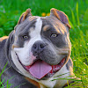 American Bully Kennel
