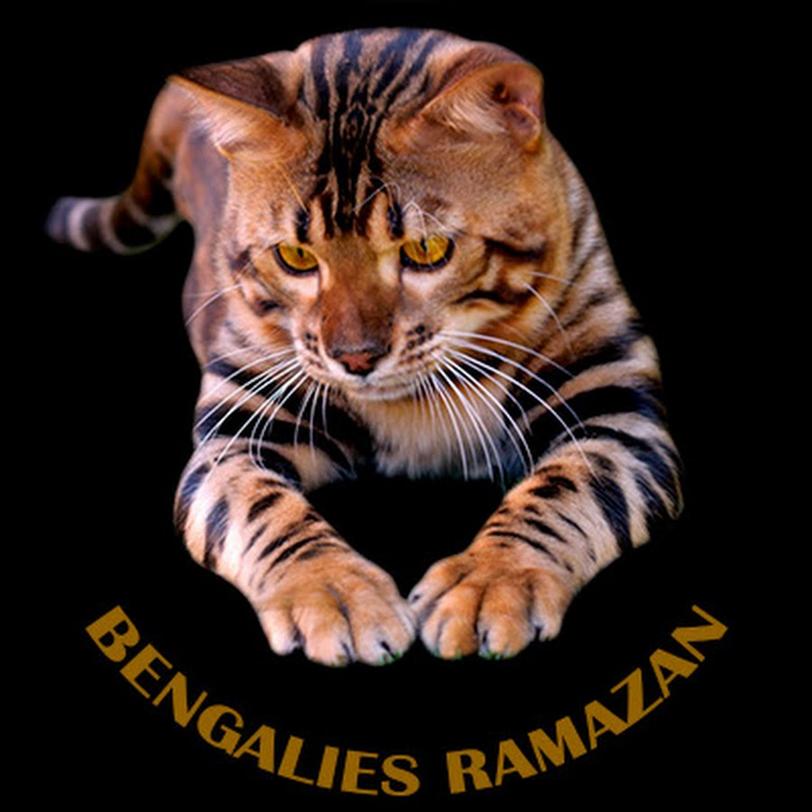 Gato bengalí Ramazan