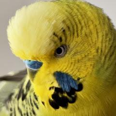 Konuşan Muhabbet Kuşu Fıstık