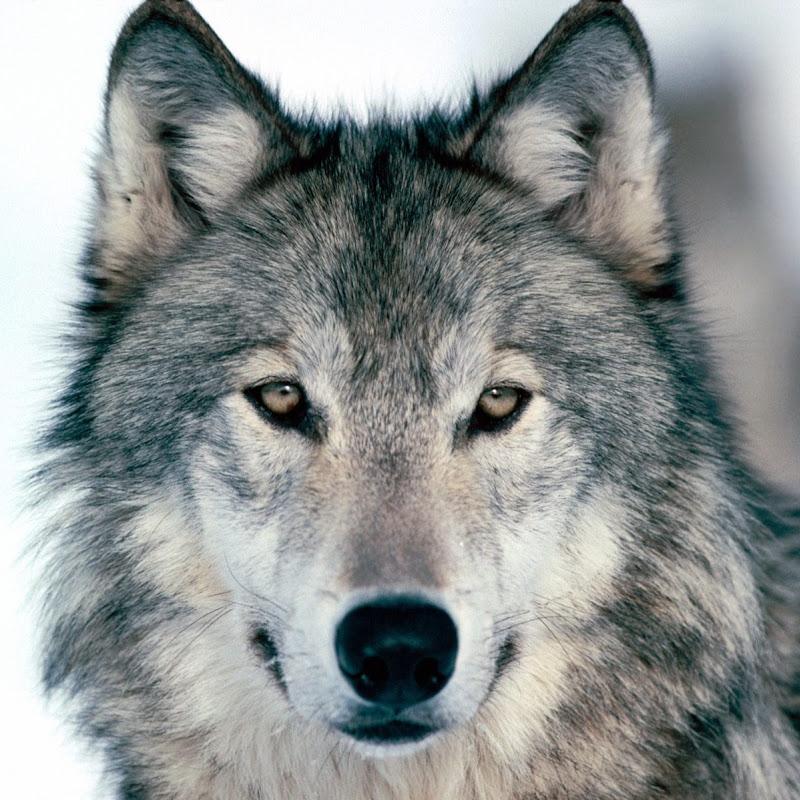 L1wolf (l1wolf)