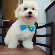 Maltese doggy
