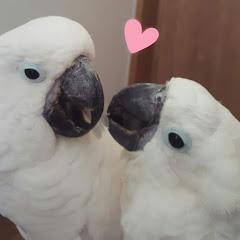 태공도사 Cockatoos